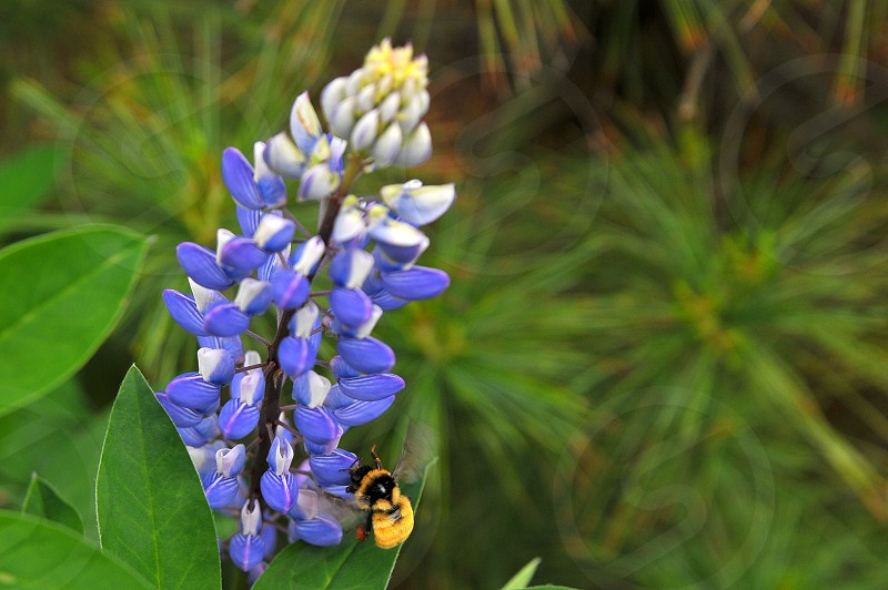 Lavender flower with bee photo