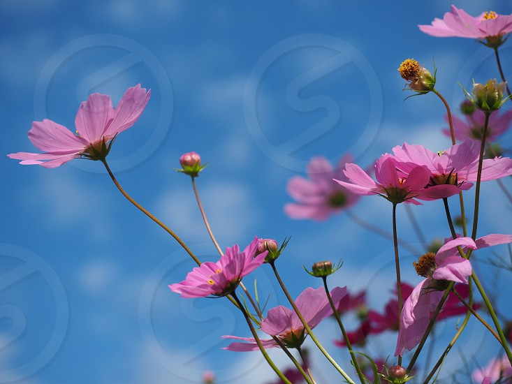 selective focus photo of pink cosmo flowers photo