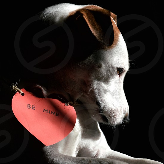 photo of white and tan Jack Russell Terrier with heart be mine card photo