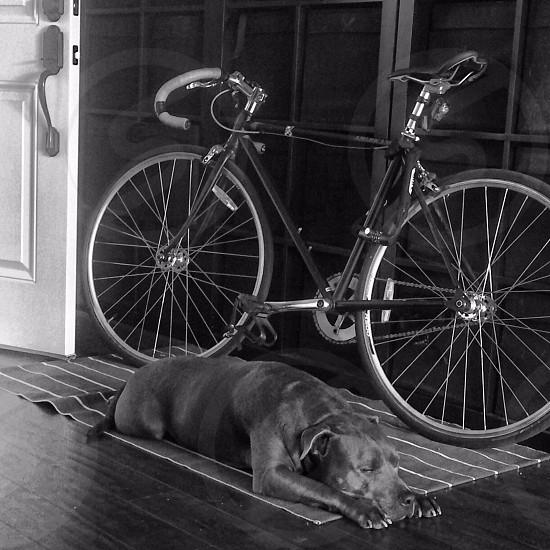 black american pitbull terrier lying on floor beside mountain bike photo