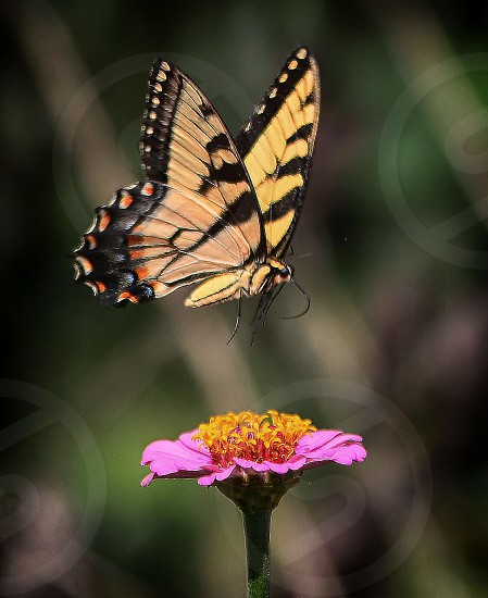 Butterfly insect flower Nature flying  photo