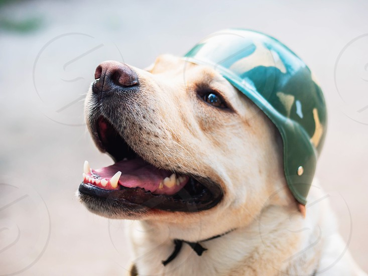 Beautiful adult golden labrador dog in military helmet. Doggy smiling. He's feeling hot at summer. Trained war dog photo