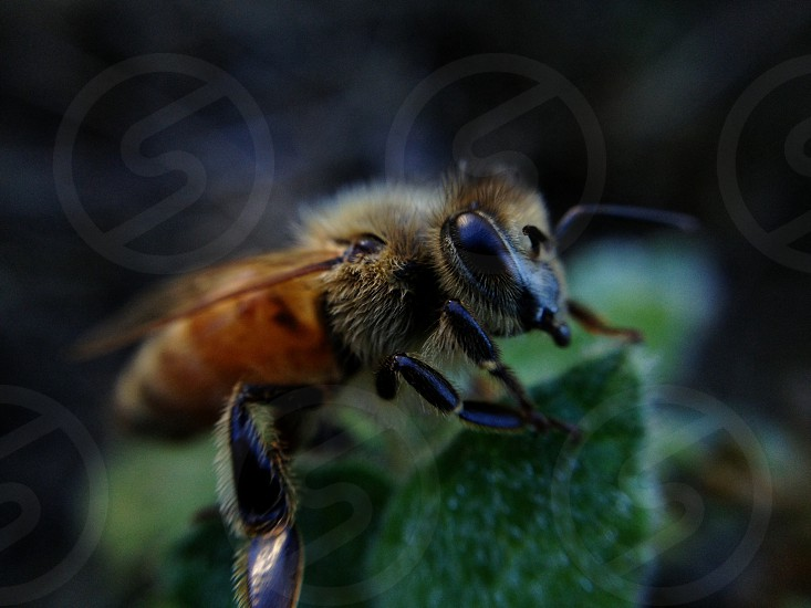honeybee macro photography photo