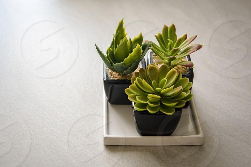 Small cactus plants planted in black pots. Interior shot photo
