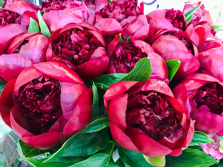 Outdoor day horizontal landscape colour flowers blooms peonies peony red deep burgundy maroon leaves foliage green greenery bright vivid nature pretty  photo