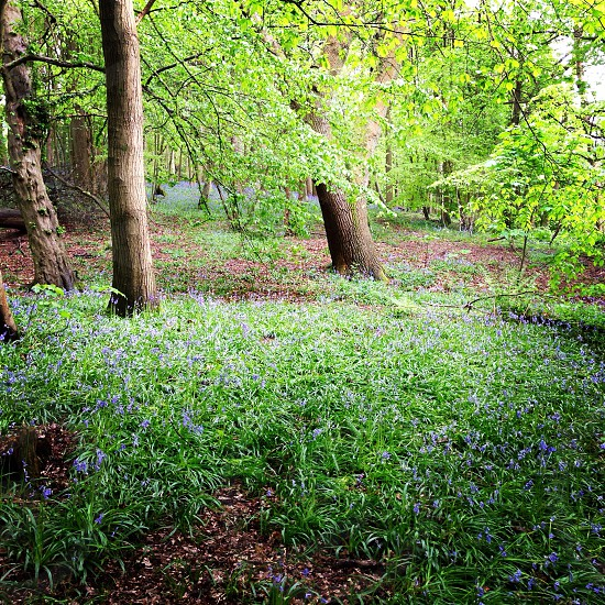 Bluebell woods woodland spring photo