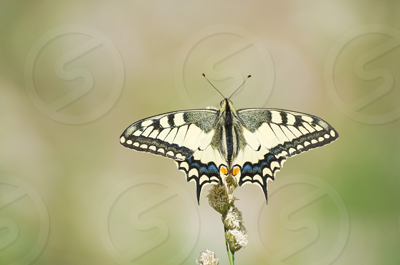 Yellow Old World Swallowtail Papilio Machaon Butterfly photo