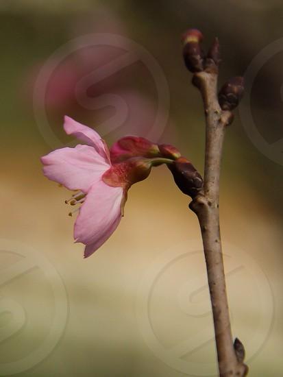 pink flower single focus view photo