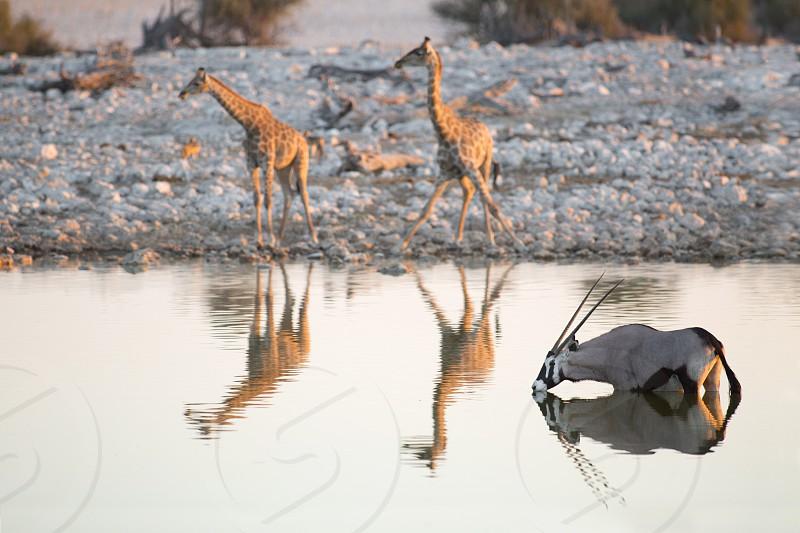 Oryx and giraffes drinking in Etosha National Park Namibia. photo
