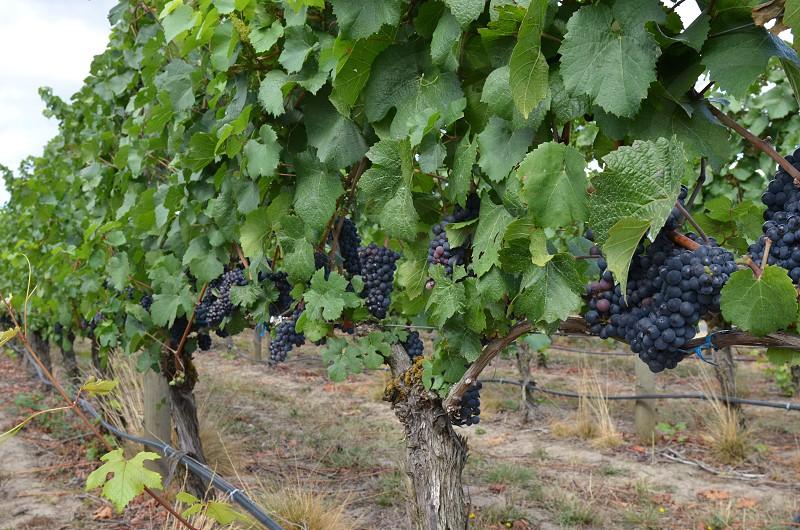 Grapes wine vineyard farm leaves fresh organic  photo