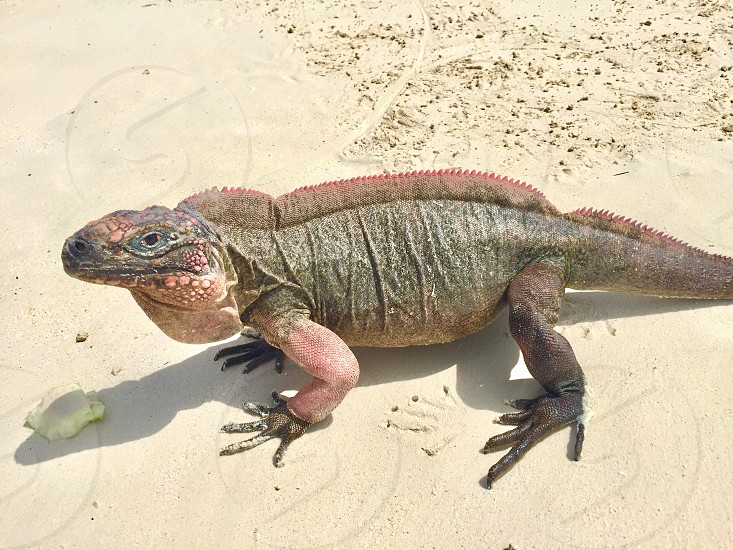 Pink iguana at Leaf Cay in the Exumas Out Islands in the Bahamas. photo