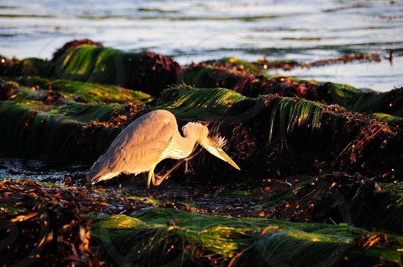 Blue Heron Stalking photo