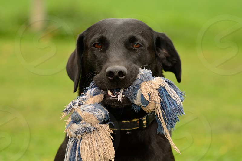 Head shot of a black Labrador retriever with a blue rope toy in it's mouth photo