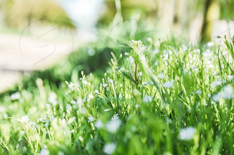 May flowers grass closeup low angle  green white botany fresh bright  photo
