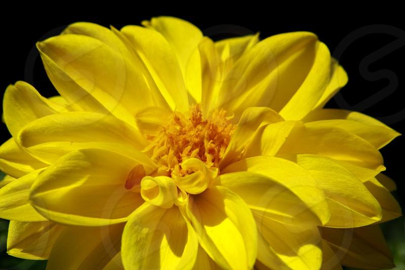 yellow flower in full bloom photo