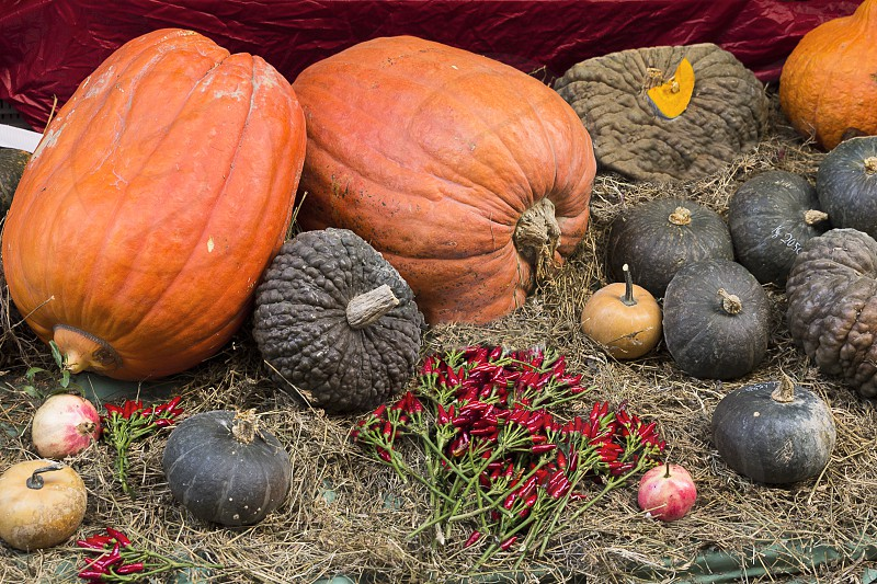 orange pumpkins and black squash photo