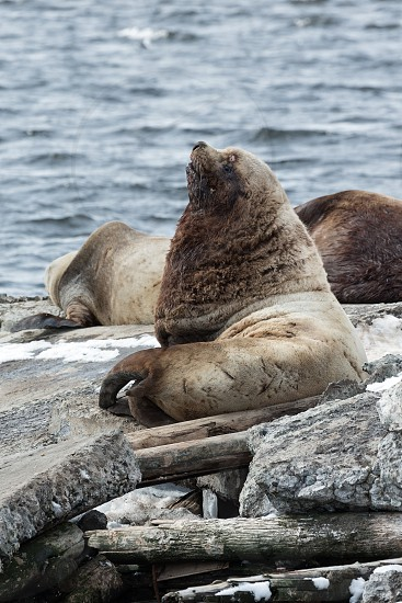 Nature of Kamchatka: rookery Northern Sea Lion or Steller Sea Lion (Eumetopias Jubatus). Russia Kamchatka Peninsula Avachinskaya Bay Petropavlovsk-Kamchatsky. photo