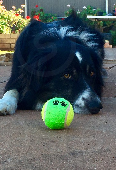 Green ball tennis dog border collie round paws eyes face pet guarding animal canine ground face closeup  photo