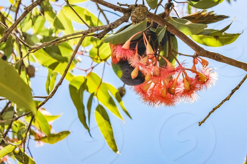 a disguised rainbow lorikeet nibbling on a pink corymbia Australian native plant eucalyptus photo