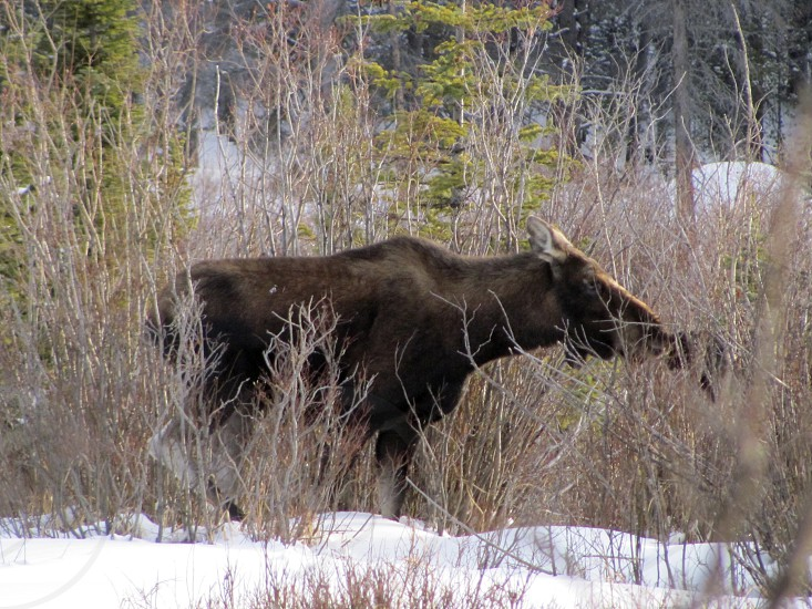 A tender kiss between a mother moose and her child ever so slightly gives away the location of her hidden child.  photo