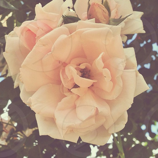 Flower Pink Rose photo