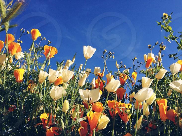 Orange white poppy field and blue sky photo