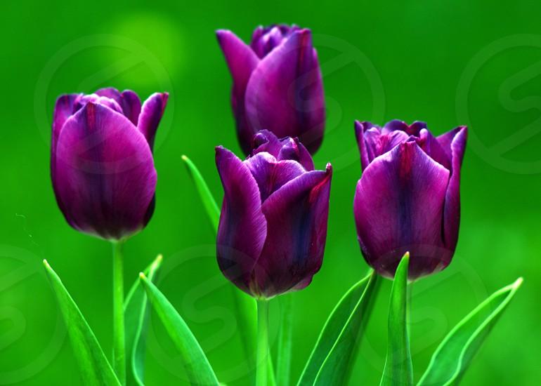 Purple tulips at the Canadian Tulip Festival in Ottawa  photo