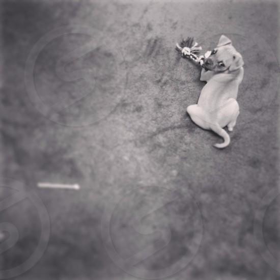gray small dog lying in floor photo