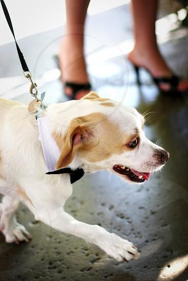 A dog dressed to kill.  Formal tie bow collar leash tongue puppy canine pet wedding heels feet walking photo