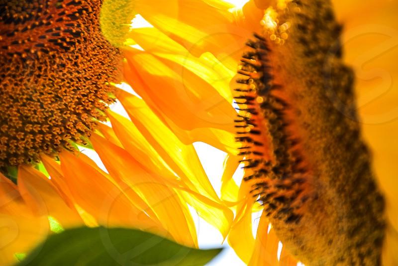 macro photography of sunflower photo