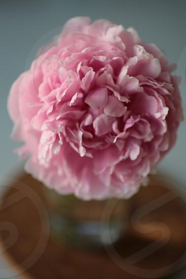 Pink peony spring flowers photo