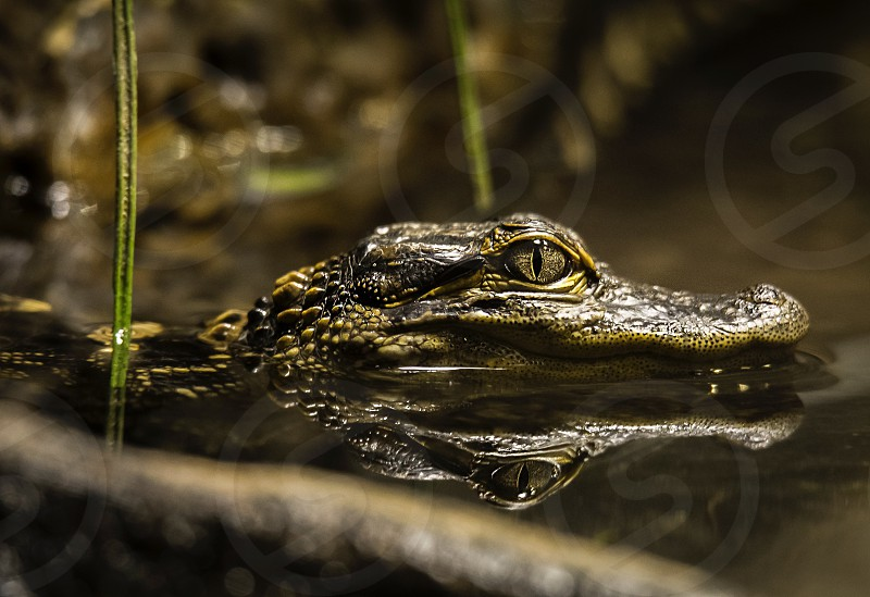closeup photography of black and brown alligator swimming on black body of water photo