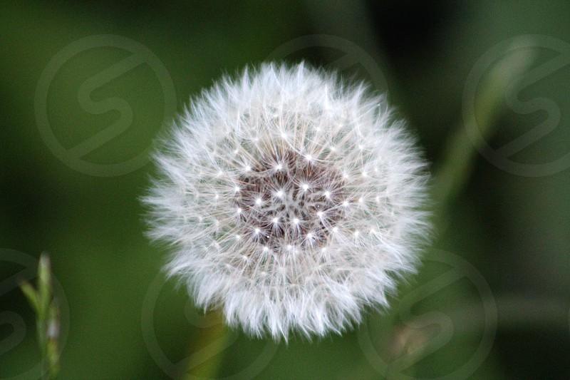 Springtime Dandelion awakening photo