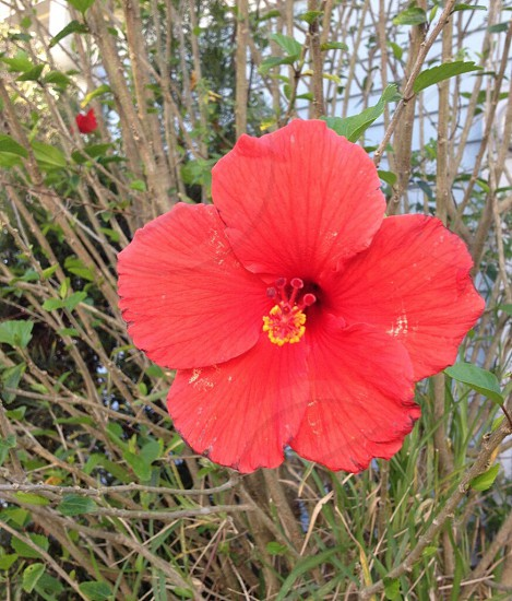 Hibiscus flower red grass color nature photo