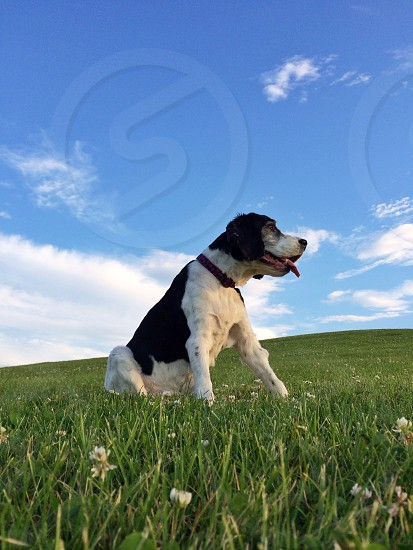 white and black short haired medium sized dog photo