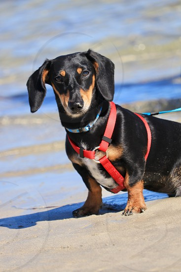 Dachshund Dog cute playful beach ocean sand harness tri coloured purebred breed looking handsome collar floppy ears intensity focused canine animal pet friend  photo