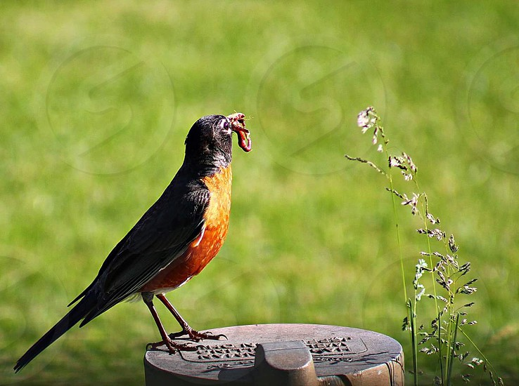 #birds # robin #feeding #nature #spring photo