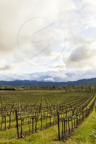vineyard winery wine vines old vine spring grapes cloud rows food drink photo