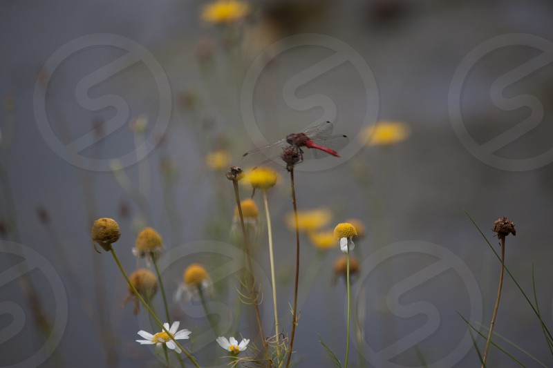 red dragonfly on yellow flower photo