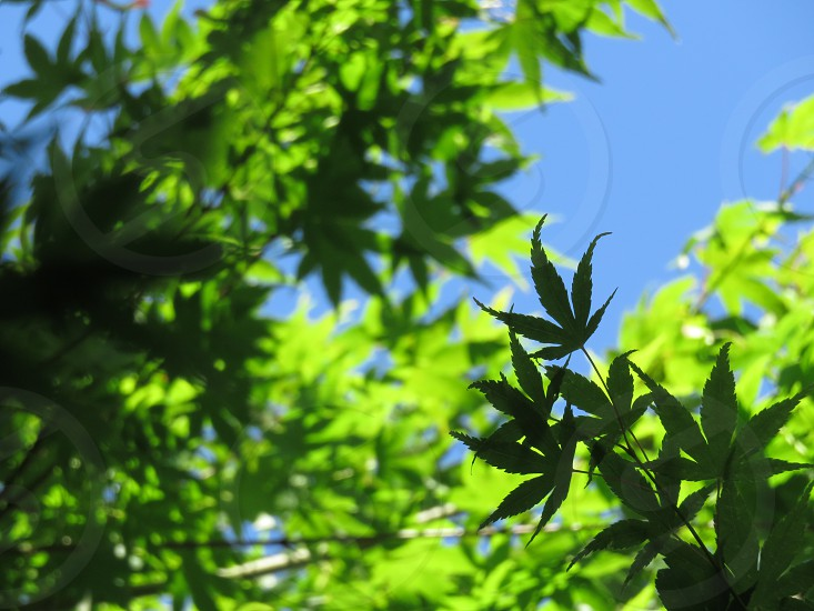 Japanese Maple green against blue sky Portland OR photo