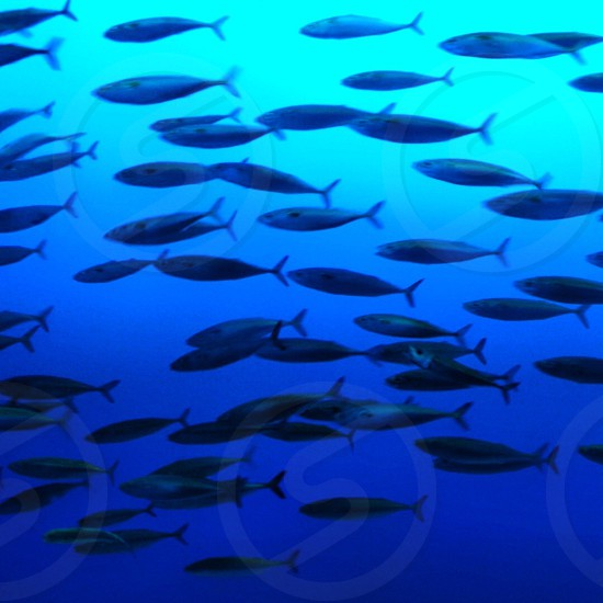 A shoal of fish at Monterey Aquarium in America.. photo