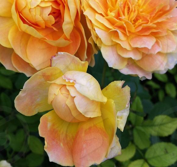 Peachy rose trio photo
