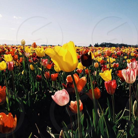 VSCOCam Filter G3. Tulipsflowerslandscapecolor photo