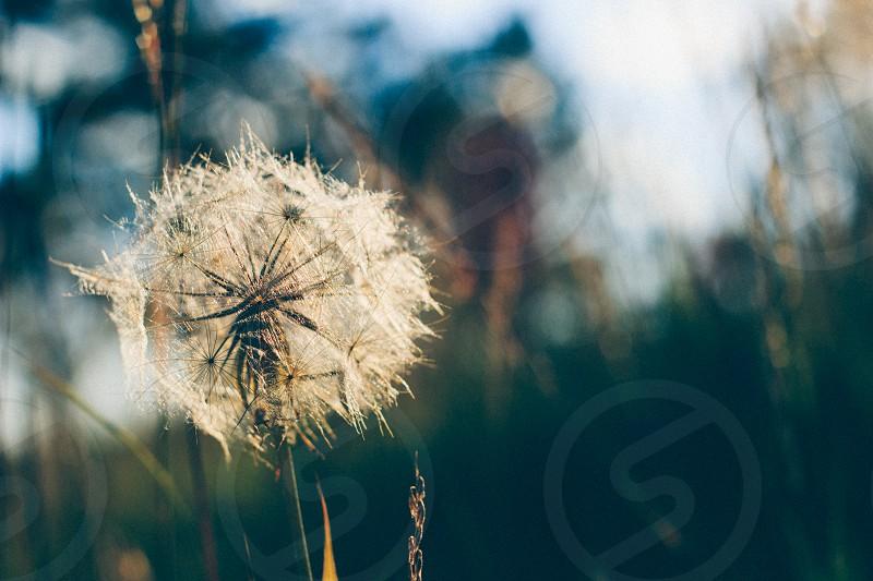 dandelion in the sun  photo
