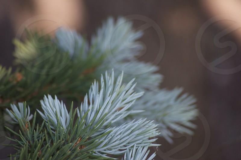 Two tone pine.  photo
