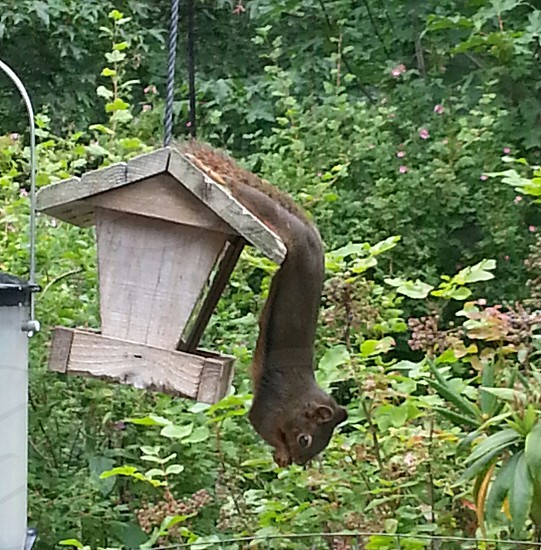 Squirrel at bird feeder. photo