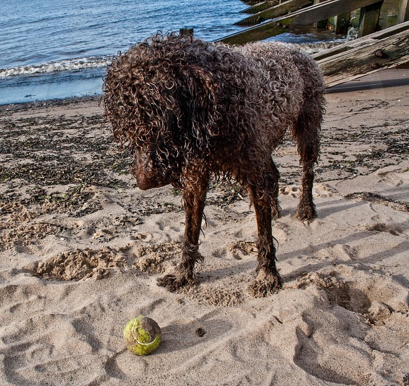 Wet dog staring at tennis ball on the beach photo