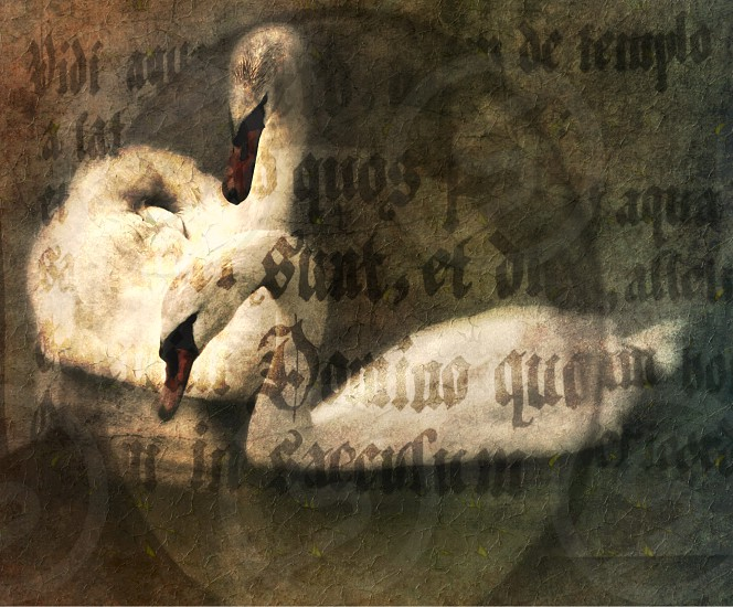 Swans combined with calligraphy  photo