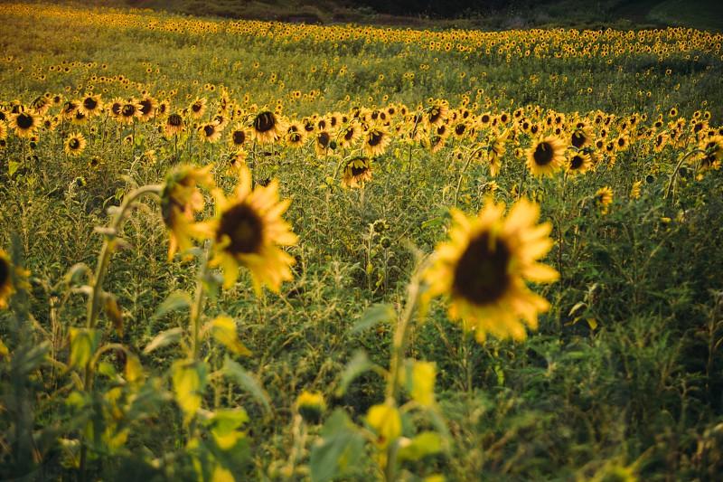 Sunflowers on a farm. photo