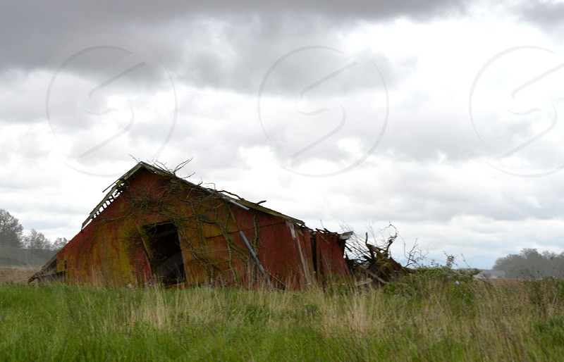 Once a safe haven for the farm animals the barn slowly returns to earth now wrapped in vines and leaning severely against a stormy sky. photo